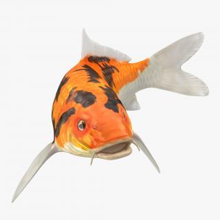 3D Koi Fish Swiming Pose