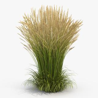 3D Calamagrostis Karl Foerster Grass model