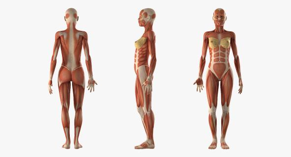 3D model Anatomy Female Muscular System