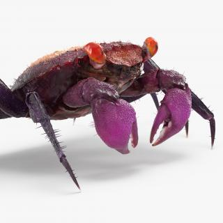 Vampire Crab Geosesarma with Fur 3D