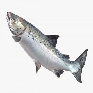 Atlantic Salmon Fish Rigged 3D