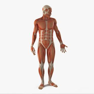 3D model Anatomy Male Muscular System Rigged