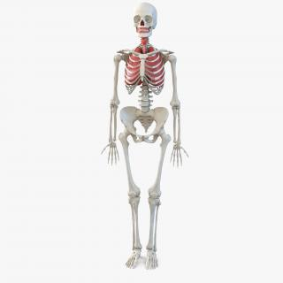 3D model Human Female Skeleton with Respiratory System