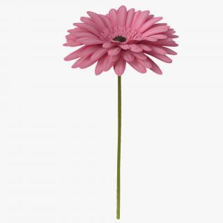 Pink Gerbera Flower 3D model