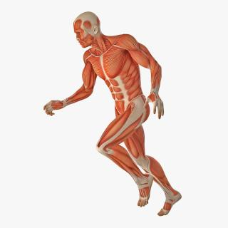 Running Man Muscles Anatomy System 3D model