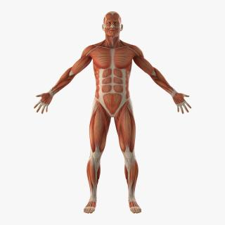 3D Anatomy Male Muscular System model