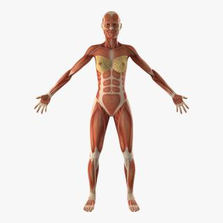 3D model Female Muscular System Anatomy