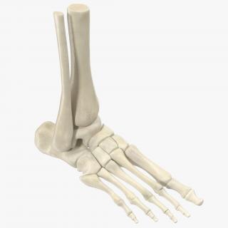 Human Skeleton Foot 3D model