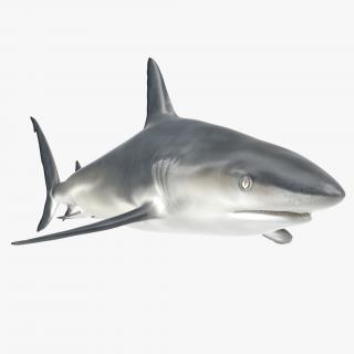 3D model Caribbean Reef Shark
