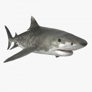 3D Tiger Shark Rigged model