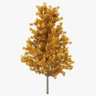 3D Young Yellow Poplar Tree Autumn