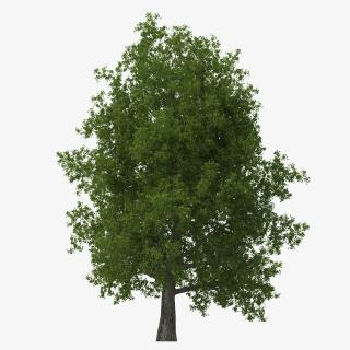 Yellow Poplar Old Tree Summer 3D model