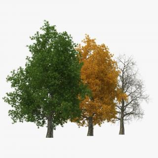 3D Yellow Poplar Old Tree Set