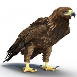 Golden Eagle Pose 5 3D model