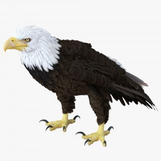 Bald Eagle Standing Pose 3D model