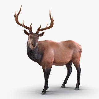 3D Elk Standing Pose with Fur