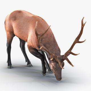 3D Elk Eating Pose 3D Model with Fur model