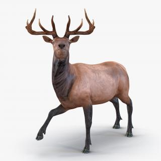 3D model Elk Rigged