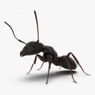 3D Black Ant Pose 2