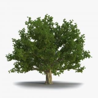 3D Red Oak Old Tree Summer model