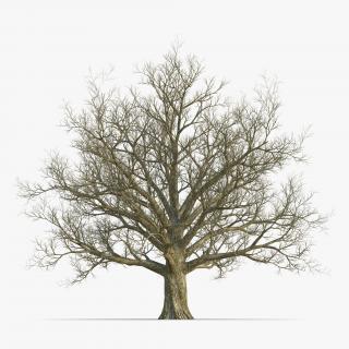 3D Red Oak Old Tree Winter model