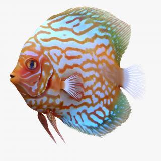 3D Symphysodon Fish