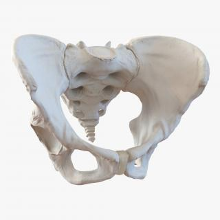 Female Pelvis Skeleton 3D