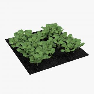 Young Cabbage Plants in the Garden 3D model