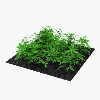3D Young Tomato Plants in the Garden model