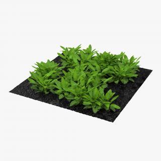 Sorrel Plants in the Garden 3D