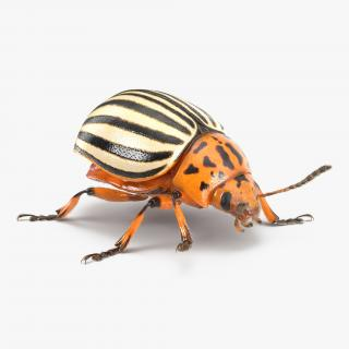 3D Colorado Potato Beetle with Fur Rigged model