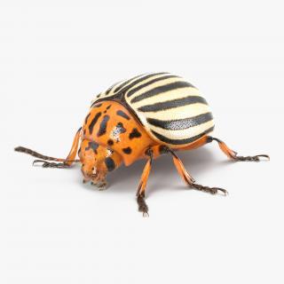 3D Colorado Potato Beetle with Fur