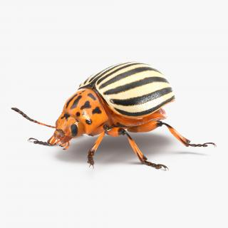 Colorado Potato Beetle Rigged 3D model