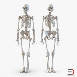 Human Male and Female Skeletons Collection 3D