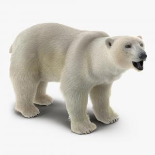 3D Polar Bear with Fur Rigged