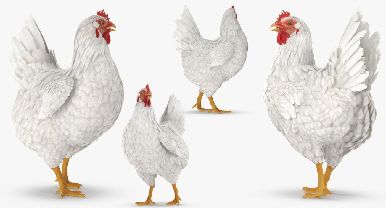 3D White Chicken Walking Pose