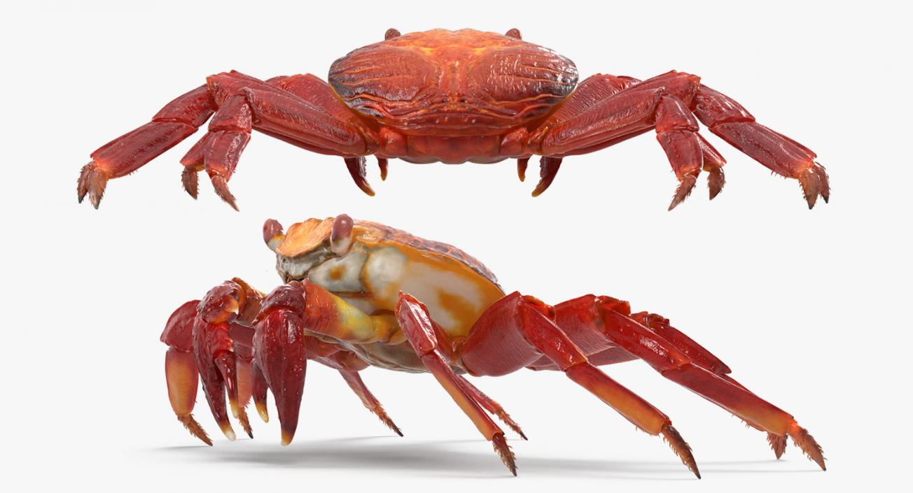 3D model Red Rock Crab Rigged