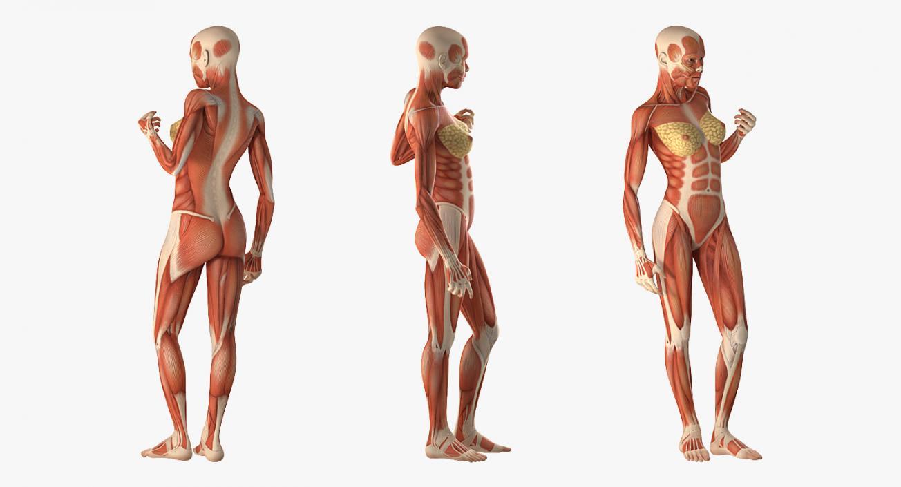 3d Female Human Muscles Anatomy Model 3d Molier International