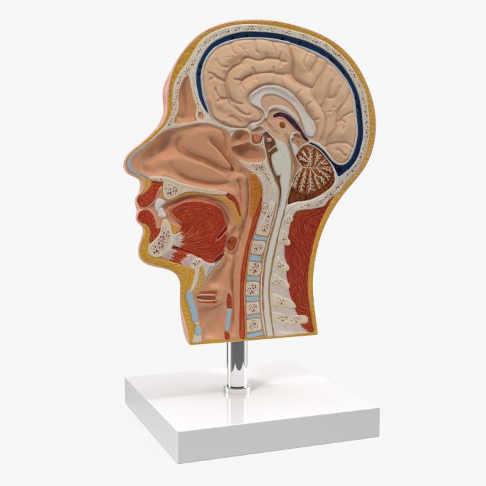 Section Of Human Head Anatomy 3d Model 3d Molier International