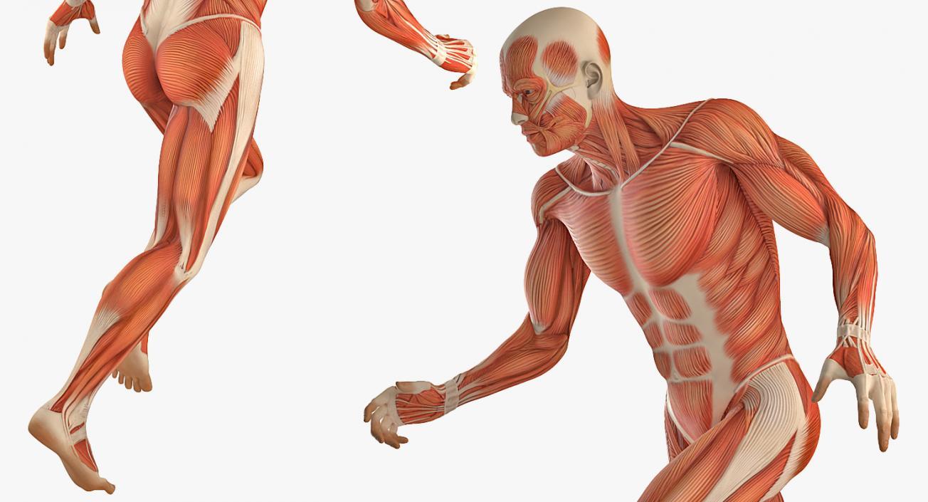Running Man Muscles Anatomy System 3d Model 3d Molier International