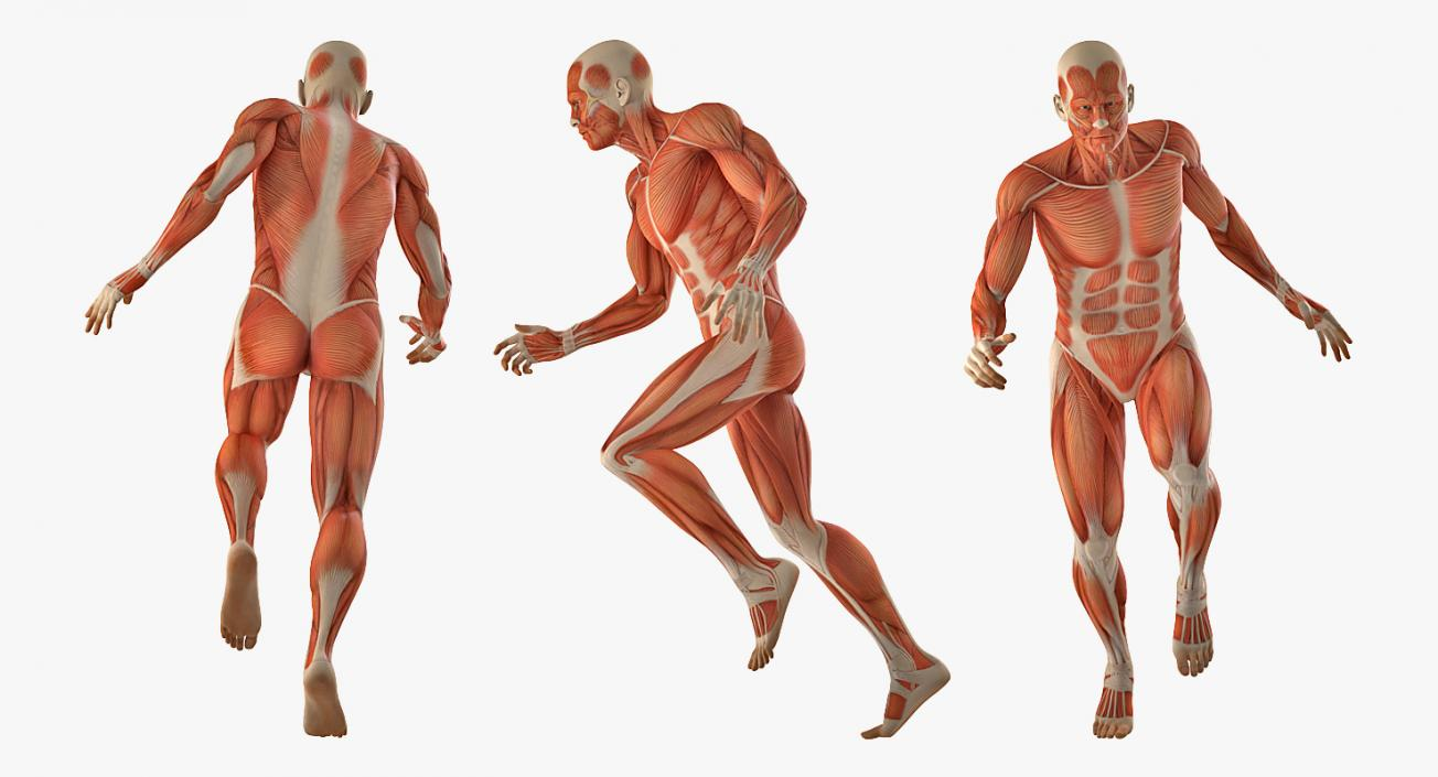 Running Man Muscles Anatomy System 3D model | 3D Molier International