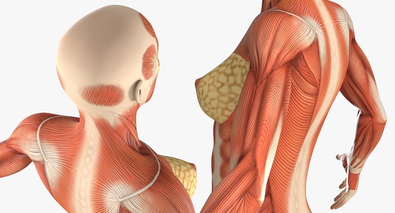 3d Model Female Muscular System Anatomy 3d Molier International