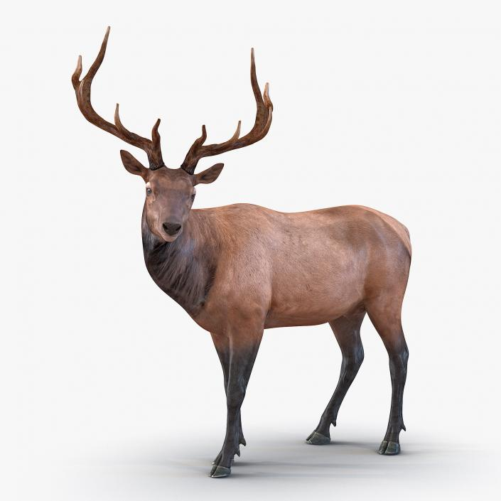 3D model Elk Pose 2