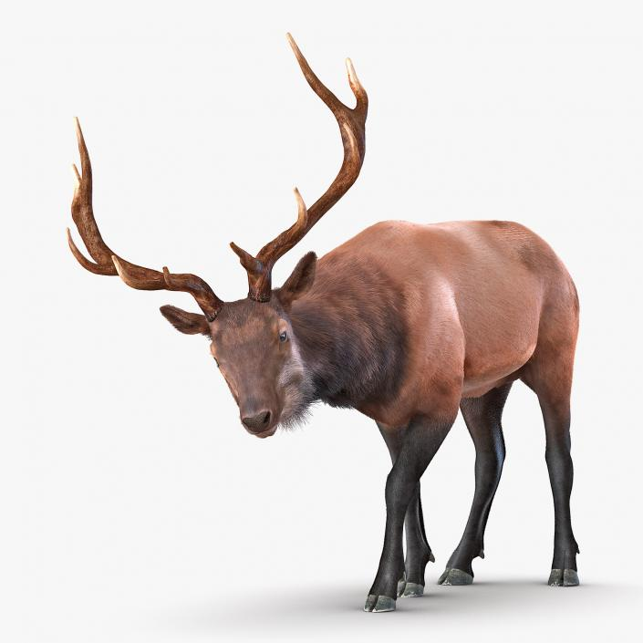 Elk Rigged with Fur 3D model