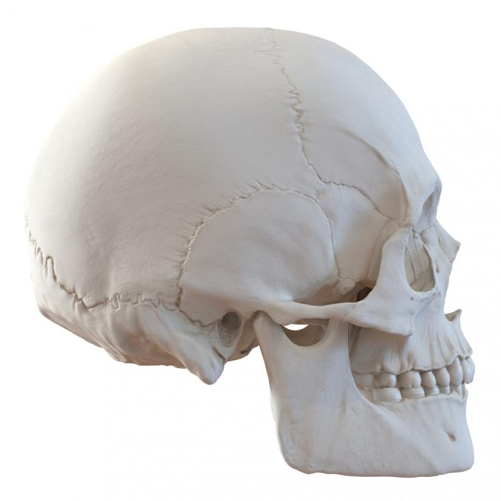 3D Male Human Skull
