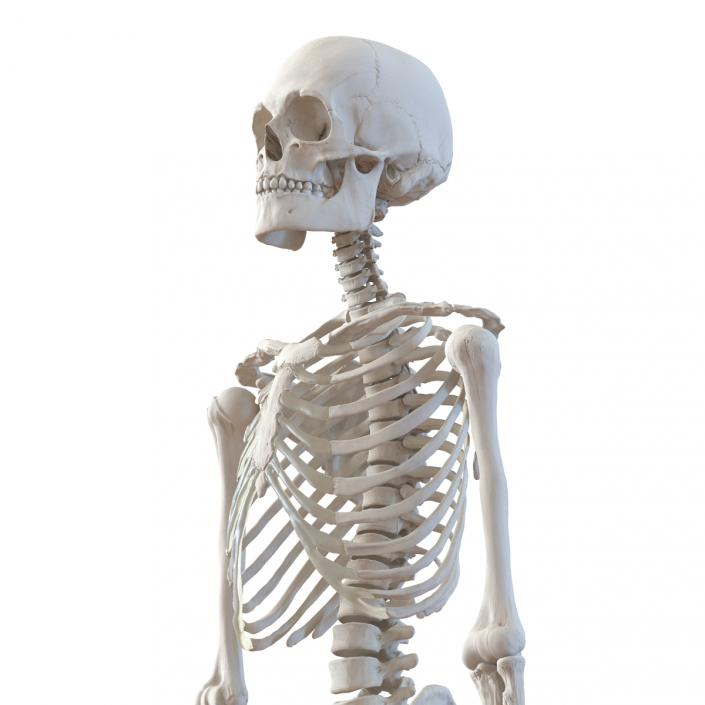 Human Male Skeleton 3D model