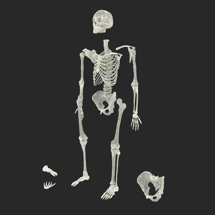 Male Skeleton Collection 3D model