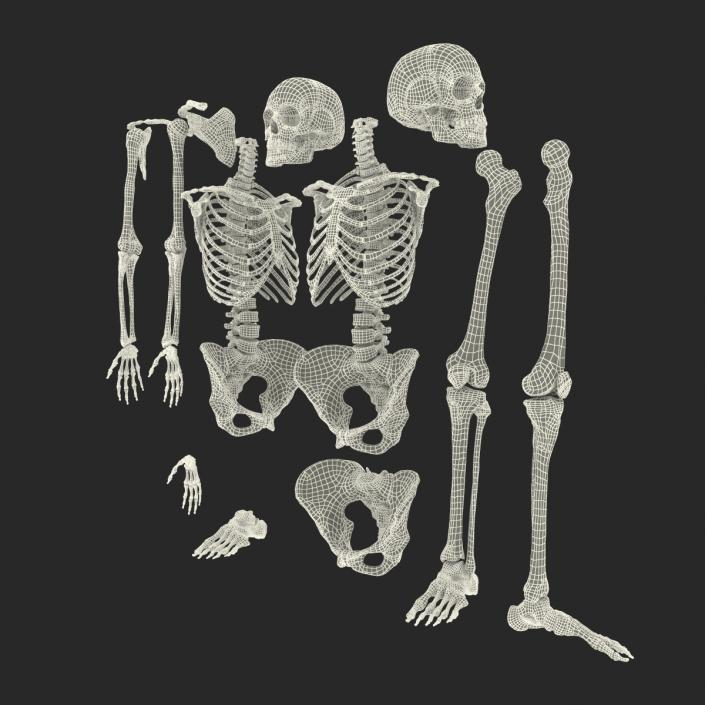 3D Female Skeleton Collection