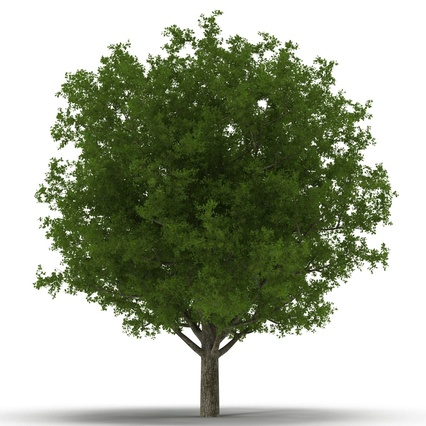 White Oak Tree Summer. Render 7