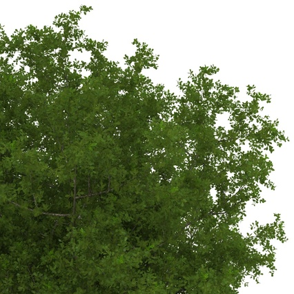 White Oak Tree Summer. Render 16